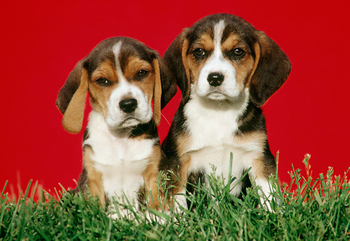 PUP 09 GR0018 01 © Kimball Stock Two Beagle Puppies Sitting In Grass
