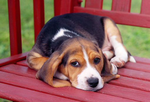PUP 09 GR0025 01 © Kimball Stock Beagle Puppy Laying On Red Wooden Chair