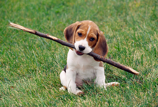 PUP 09 GR0035 01 © Kimball Stock Beagle Puppy Sitting On Grass Holding Stick