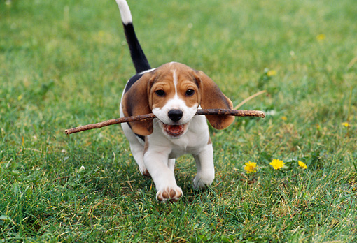 Beagle Running beagle puppy - Animal ...