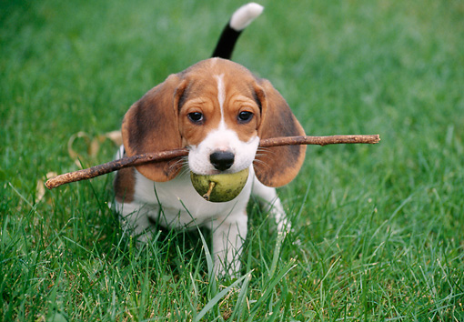 PUP 09 GR0038 01 © Kimball Stock Beagle Puppy Standing On Grass Holding Stick And Pear In Mouth
