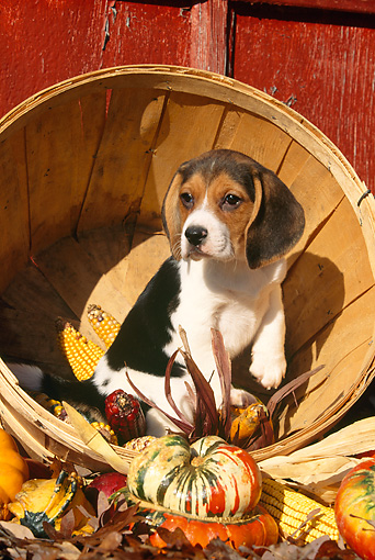 PUP 09 LS0001 01 © Kimball Stock Beagle Puppy Sitting In Basket With Gourds And Corn