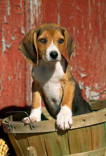 PUP 09 LS0002 01 © Kimball Stock Beagle Puppy Climbing Out Of Basket By Old Barn