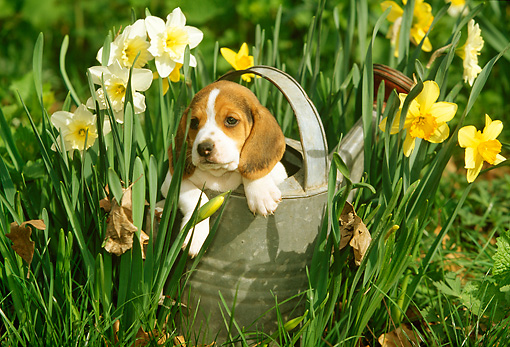 PUP 09 LS0003 01 © Kimball Stock Beagle Puppy Sitting In Watering Can By Daffodils