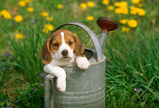 PUP 09 LS0004 01 © Kimball Stock Beagle Puppy Sitting In Watering Can By Flowers