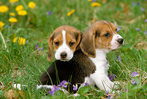 PUP 09 LS0006 01 © Kimball Stock Two Beagle Puppies Sitting On Grass By Yellow And Violet Flowers