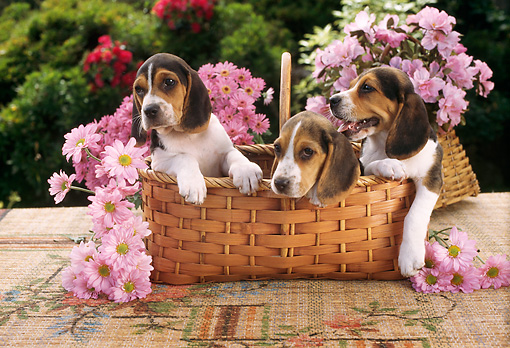 PUP 09 RC0001 02 © Kimball Stock Three Beagle Puppies Sitting In Basket In Garden With Pink Flowers