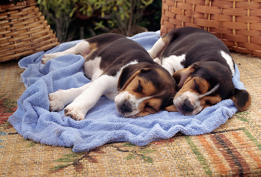 PUP 09 RC0003 01 © Kimball Stock Two Beagle Puppies Sleeping On Blue Blanket By Baskets