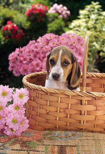 PUP 09 RC0004 01 © Kimball Stock Portrait Of Beagle Puppy Sitting In Basket In Garden With Pink Flowers