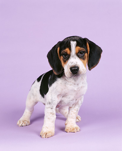 PUP 09 RK0001 03 © Kimball Stock Beagle Puppy Facing Camera On Purple Seamless Background