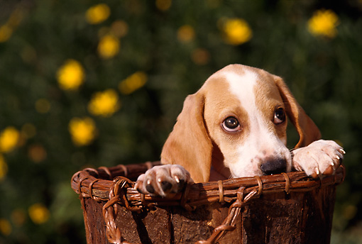 PUP 09 RK0019 02 © Kimball Stock Head Shot Of Beagle Sitting In Wooden Bucket
