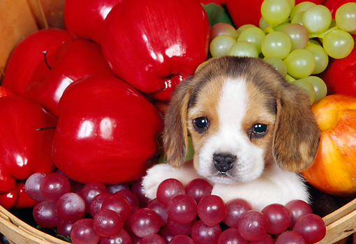 PUP 09 RK0040 01 © Kimball Stock Head Shot Of Beagle Puppy Sitting In A Basket Of Fruit