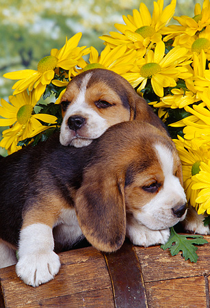 PUP 09 RK0055 03 © Kimball Stock Two Beagle Puppies Sitting On Side Of Wooden Barrel Resting On Each Other By Yellow Flowers