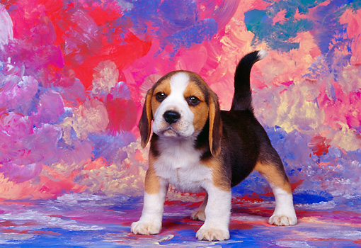 PUP 09 RK0064 07 © Kimball Stock Beagle Puppy Standing On Mottled Background