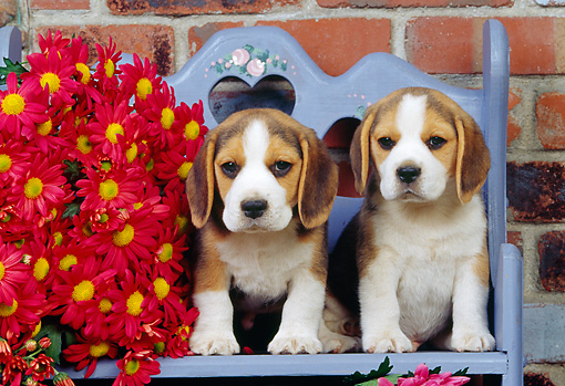PUP 09 RK0075 01 © Kimball Stock Two Beagle Puppies Sitting On Lavender Bench By Red Flowers By Brick Wall