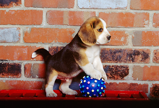 PUP 09 RK0077 03 © Kimball Stock Beagle Puppy Playing With Blue Ball Brick Background