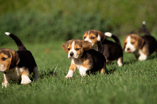 A Group Of Beagle Puppies Running On Grass Kimballstock