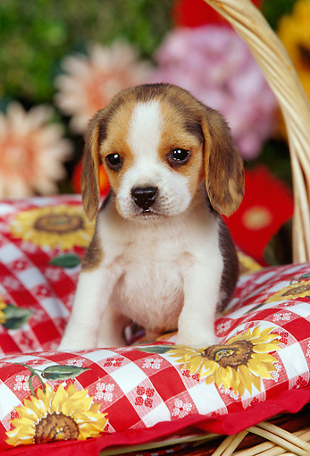 PUP 09 RK0094 10 © Kimball Stock Beagle Puppy Sitting In Picnic Basket With Red And White Cloth