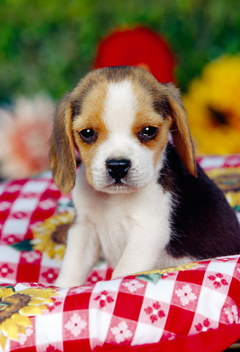 PUP 09 RK0095 05 © Kimball Stock Beagle Puppy Sitting In Picnic Basket With Red And White Cloth