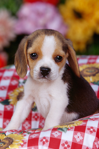 PUP 09 RK0095 07 © Kimball Stock Beagle Puppy Sitting In Picnic Basket With Red And White Cloth