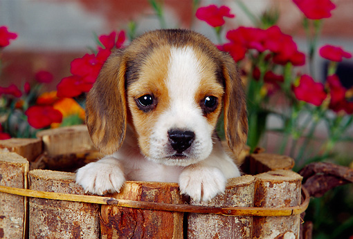 PUP 09 RK0098 04 © Kimball Stock Head Shot Of Beagle Puppy Sitting In Wooden Bucket By Flowers