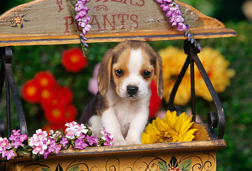 PUP 09 RK0106 02 © Kimball Stock Beagle Puppy Standing In Flower Cart