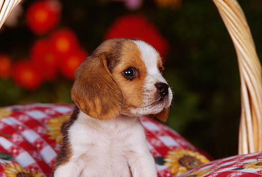 PUP 09 RK0108 03 © Kimball Stock Head Shot Of Beagle Puppy Sitting In Basket On Red And White Pillow
