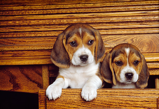 PUP 09 RK0117 07 © Kimball Stock Head Shot Of Two Beagle Puppies Sitting In Wooden Desk Drawer