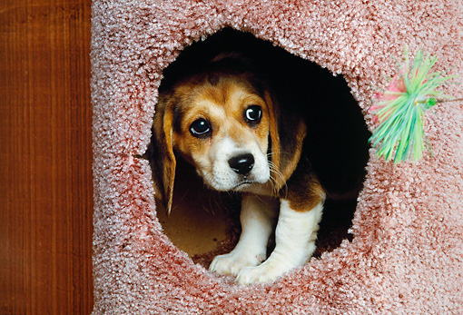 PUP 09 RK0160 06 © Kimball Stock Beagle Puppy Peeking Through Round Hole In Cat Play House