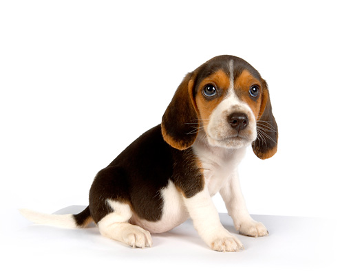 PUP 09 RK0167 01 © Kimball Stock Beagle Puppy On White Seamless
