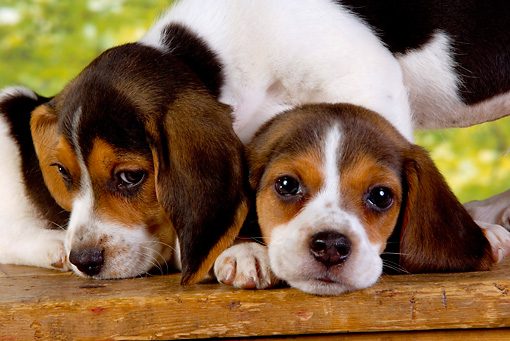 PUP 09 RK0176 01 © Kimball Stock Head Shot Of Two Beagle Puppies Cuddling Studio