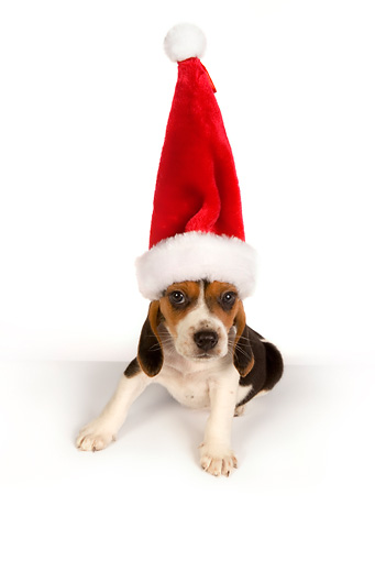 PUP 09 RK0188 01 © Kimball Stock Beagle Puppy Wearing Santa Hat On White Seamless