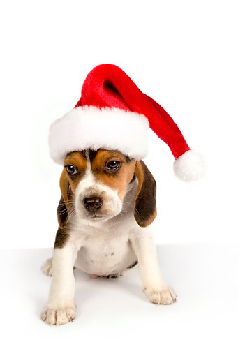 PUP 09 RK0189 01 © Kimball Stock Beagle Puppy Wearing Santa Hat On White Seamless