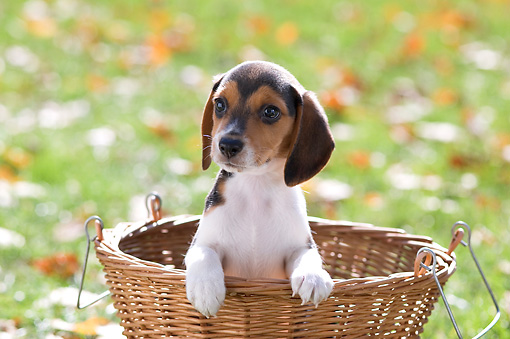 PUP 09 YT0002 01 © Kimball Stock Beagle Puppy Sitting In Basket On Grass