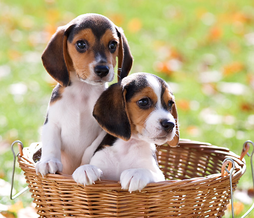 PUP 09 YT0003 01 © Kimball Stock Two Beagle Puppies Sitting In Basket On Grass