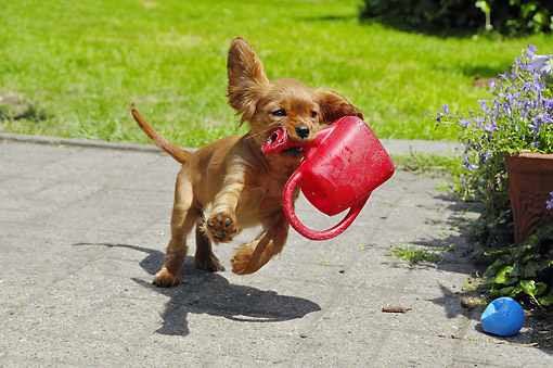PUP 10 AC0002 01 © Kimball Stock Cavalier King Charles Spaniel Puppy Running With Watering Can In Mouth