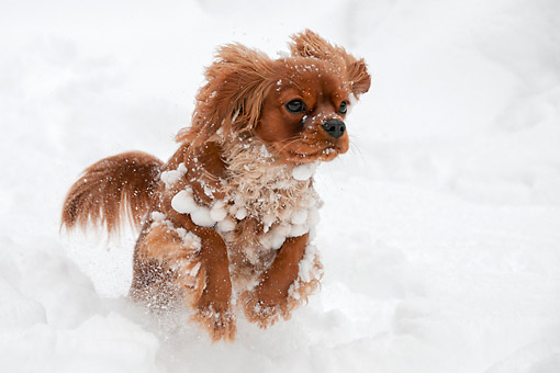 PUP 10 AC0003 01 © Kimball Stock Cavalier King Charles Spaniel Puppy Playing In Snow