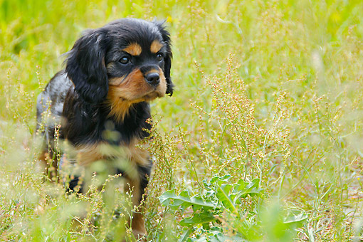 PUP 10 AC0004 01 © Kimball Stock Cavalier King Charles Spaniel Puppy Looking Cute In Grass