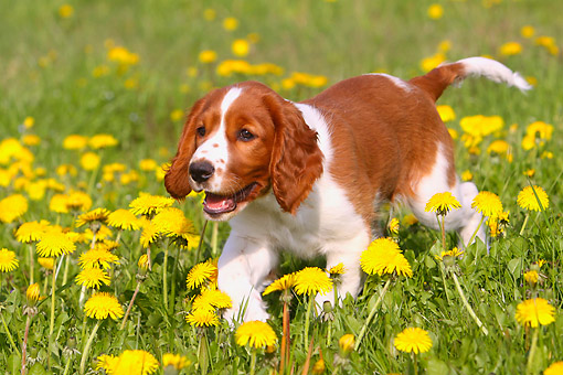 PUP 10 AC0005 01 © Kimball Stock Welsh Springer Spaniel Puppy Trotting Through Flowers And Grass