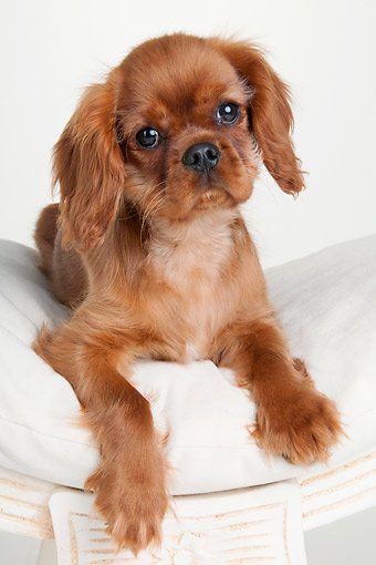 PUP 10 AC0006 01 © Kimball Stock Cavalier King Charles Spaniel Puppy Laying In Soft Chair In Studio