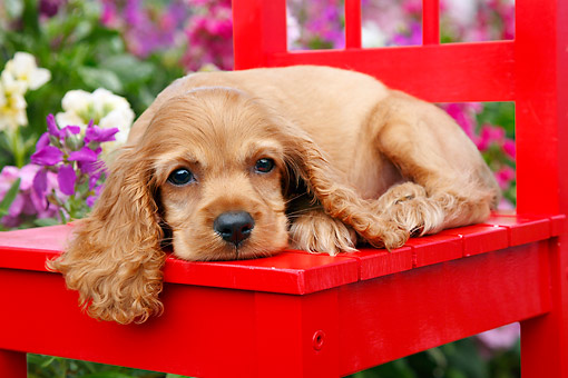 PUP 10 BK0008 01 © Kimball Stock Cocker Spaniel Puppy Laying On Red Chair In Garden