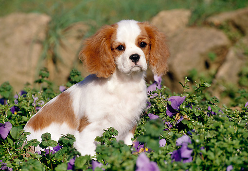PUP 10 CB0001 01 © Kimball Stock Cavalier King Charles Spaniel Puppy Sitting In Garden