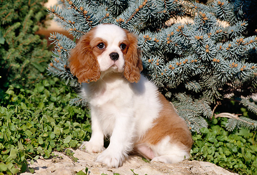 PUP 10 CB0005 01 © Kimball Stock Cavalier King Charles Spaniel Puppy Sitting On Rock By Evergreen
