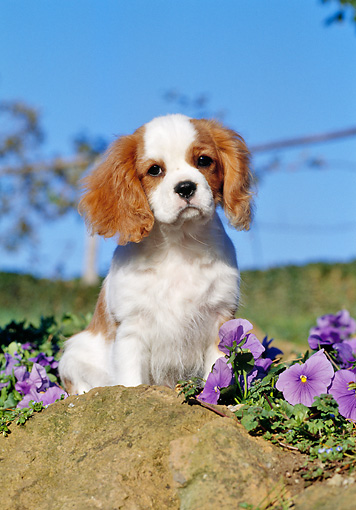 PUP 10 CB0006 01 © Kimball Stock Cavalier King Charles Spaniel Puppy Sitting On Rock By Purple Flowers