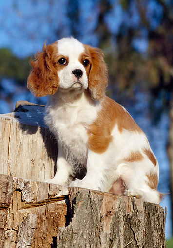 PUP 10 CB0007 01 © Kimball Stock Cavalier King Charles Spaniel Puppy Sitting On Stump