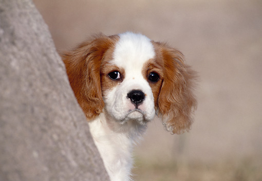 PUP 10 CB0010 01 © Kimball Stock Cavalier King Charles Spaniel Puppy Looking Out From Behind Tree