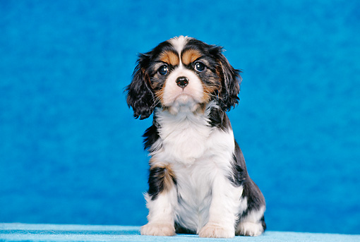 PUP 10 CB0012 01 © Kimball Stock Cavalier King Charles Spaniel Puppy Sitting In Blue Studio