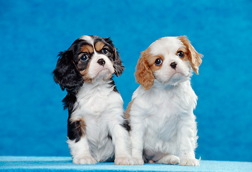 PUP 10 CB0013 01 © Kimball Stock Two Cavalier King Charles Spaniel Puppies Sitting In Blue Studio
