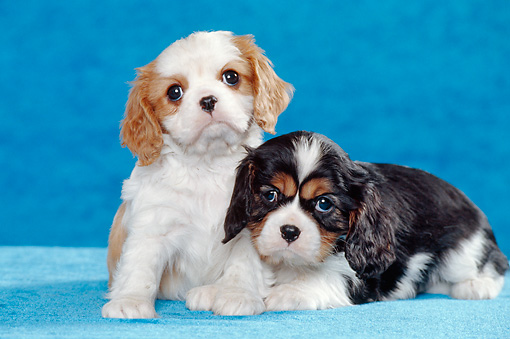 PUP 10 CB0014 01 © Kimball Stock Two Cavalier King Charles Spaniel Puppies In Blue Studio