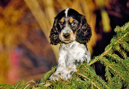 cocker spaniel tricolor tricolor animal stock photos kimballstock 6135